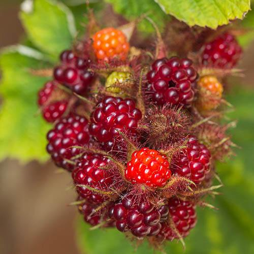 Japanese Wineberry Fruit Bush in a 2L Pot - Tastes Like a Raspberry!