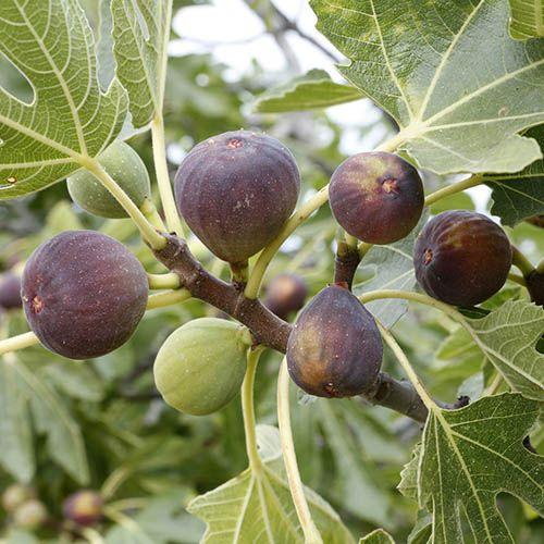 Fig Rouge de Bordeaux
