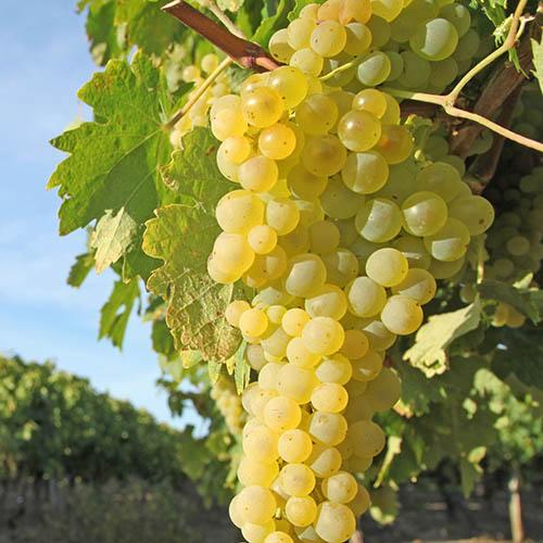 White Grapevine Supaga