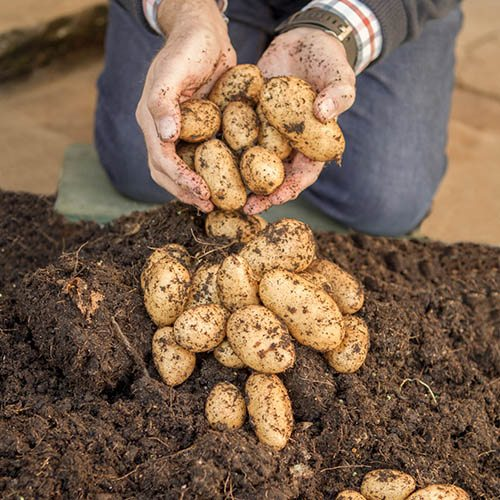 Image of Grow Your Own Patio Potato Kit - 3 varieties, pots & fertiliser