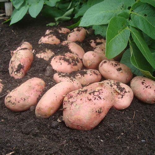 Premium Seed Potato Sarpo Mira - maincrop blight resistant