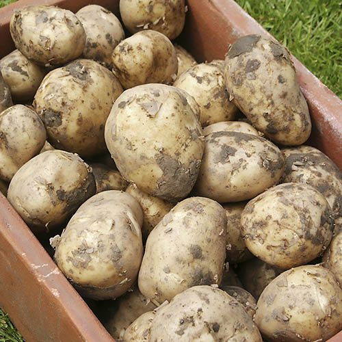 Image of Seed Potato 'Swift' (First early) - 2.5kg