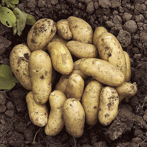 Image of Seed Potato 'Charlotte' (Salad) - 2.5kg