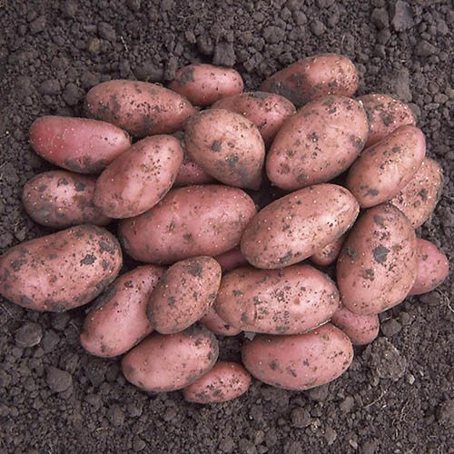 Image of Seed Potato 'Desiree' (Maincrop) - 2.5kg