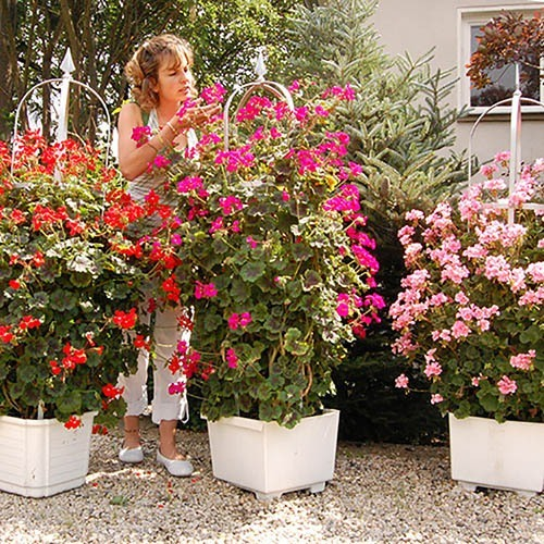 Climbing Antik Geranium Collection x 9 Jumbo Plug Plants