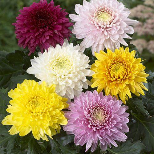 Chrysanthemum Garden Bloom Collection