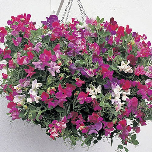 Pack of 12 Fragrant Trailing Sweet Pea Jumbo Plug Plants