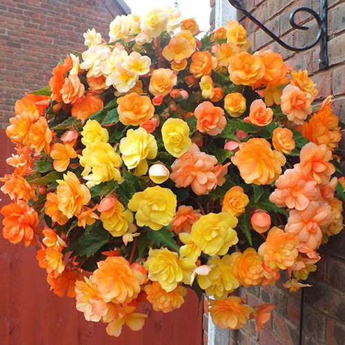 Begonia 'Illumination Apricot Shades' Bedding Plant Pack of 12 Jumbo Plugs