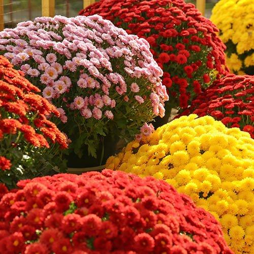 Chrysanthemum Garden Mums Collection