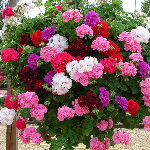 Double Flowered Rosebud Geranium Bedding & Basket Plant Pack of 12 Jumbo Plugs