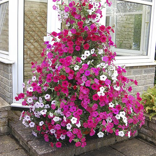 Climbing Groundcover Petunia 'Tidal Wave' Mix of 24 Jumbo Plugs