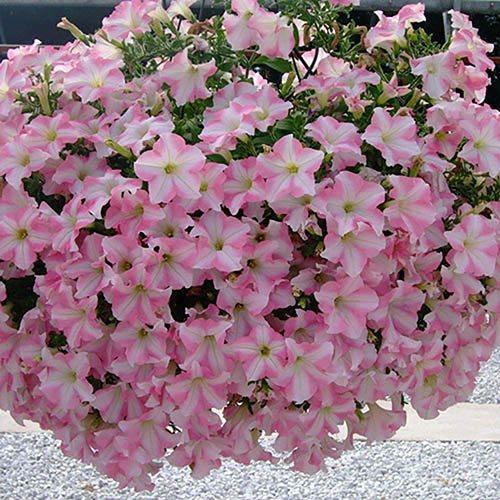 Trailing Petunia Pink Star