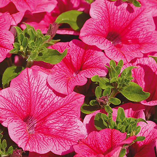 Surfinia Petunia Hot Pink - 12 large plugs