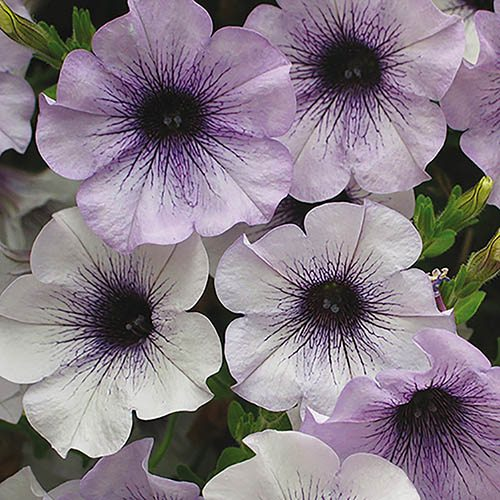 Surfinia Petunia Blue Vein - 12 large plugs