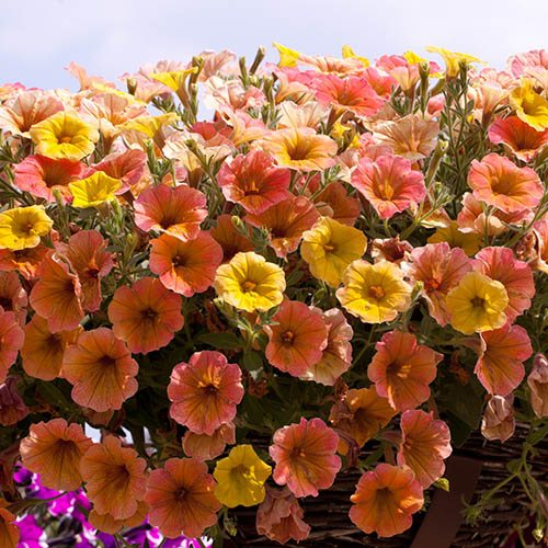 Petunia Indian Summer Apricot Shades x 12
