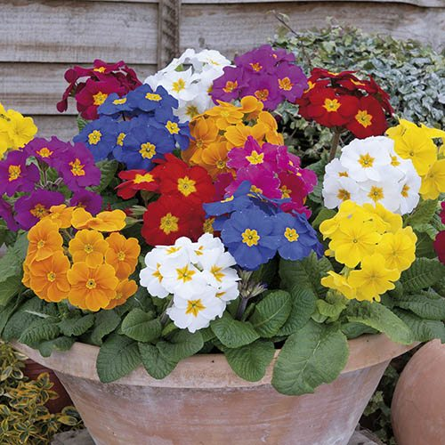 Polyanthus Crescendo Mix