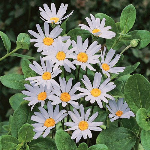 Pack of 12 Felicia Blue Daisy Plug Plants for Beds, Borders, Pots
