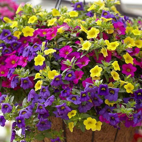 Trailing Mini Petunia Million Bells Collection