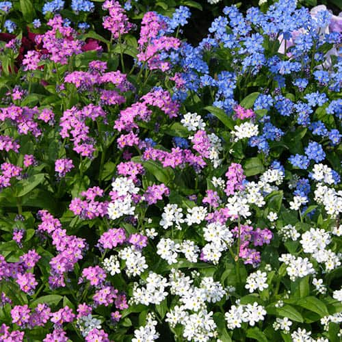 Pack of 12 Forget Me Nots (Myosotis) Plug Plants