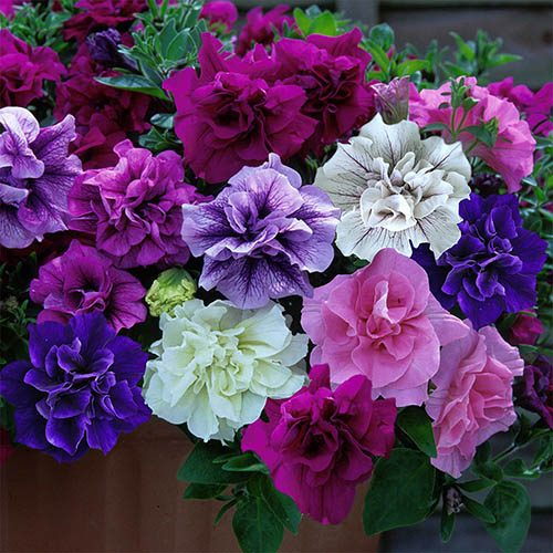Tumbelina Petunia Fragrant Collection 12 plug plants