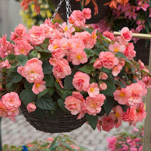 Hanging Basket Fragrant Begonia 'Sweet Spice' Pack of 6 Plug Plants