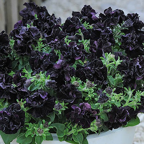 Petunia 'Black Night' Bedding Plant Pack of 12 Jumbo Plug Plants