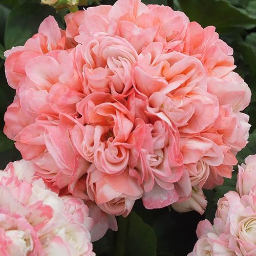 Giant Flowered Geranium Rosebud Appleblossom Pack of 6 Jumbo Plug Plants