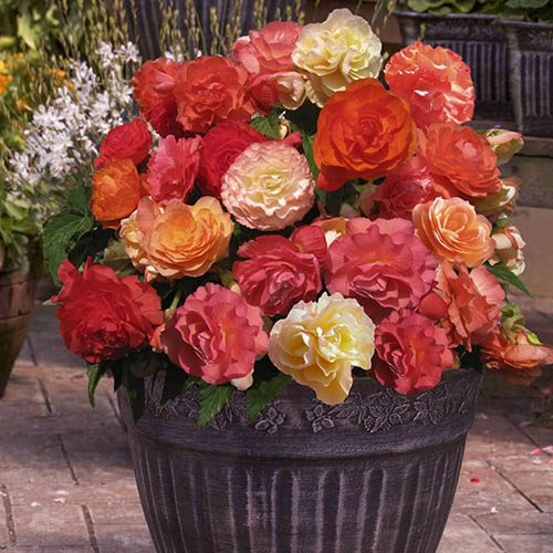 Pack of 12 Fragrant Trailing Begonia Jumbo Plug Bedding Plants