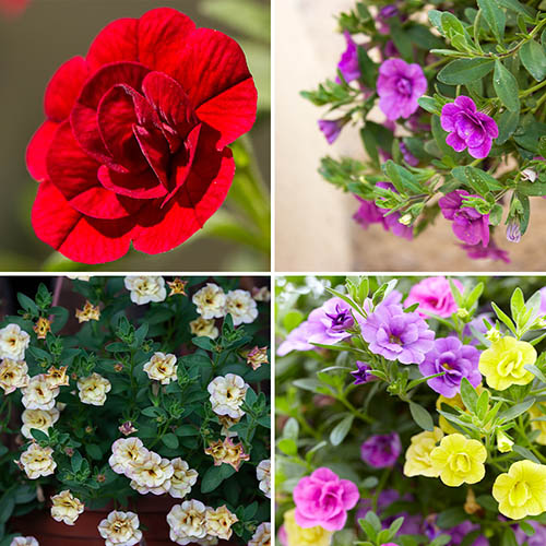 Rosebud Double Mini Petunia \'Calita\' 12 plug plants