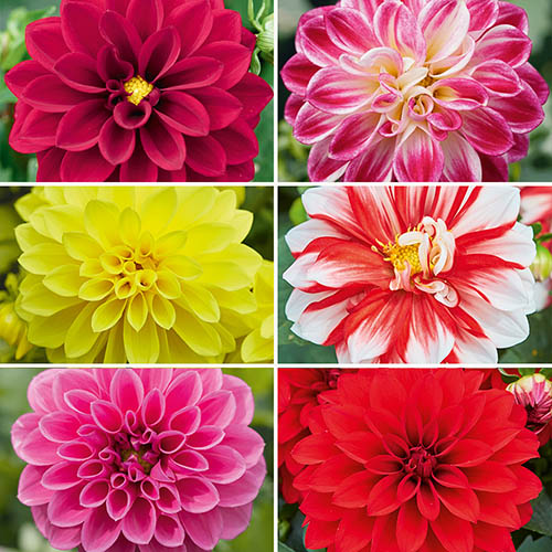Flowers Dahlia Collection