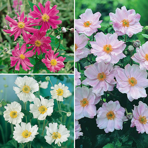 Image of Hardy Japanese Anemone Perennial Plant Collection 3 Colours in 9cm Pots