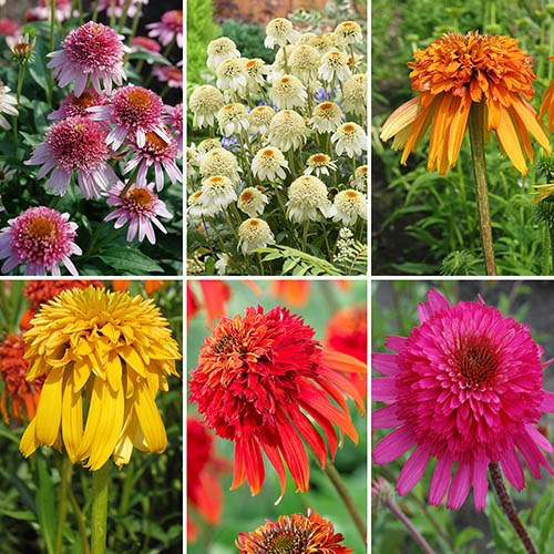 Hardy Double Echinacea Collection includes 6 Varieties of Garden Ready Plants