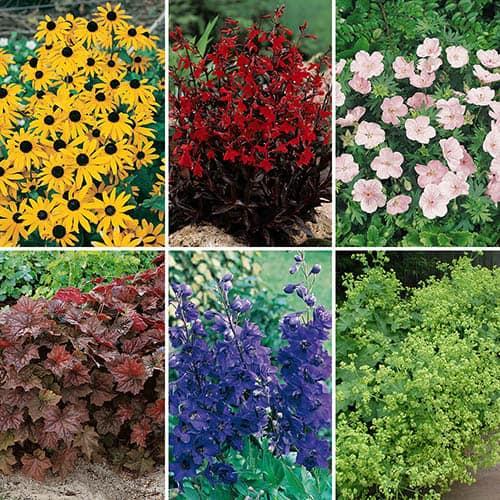 Cottage Garden Perennial Favourites x 6 Garden Ready Plants