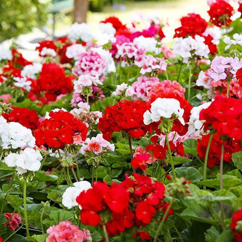 Geranium Blooming Mix