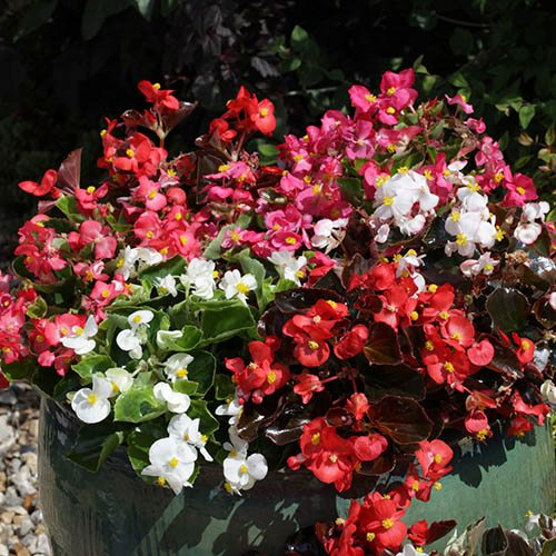 Begonia semp. 'Organdy Mix' 40 plug plants