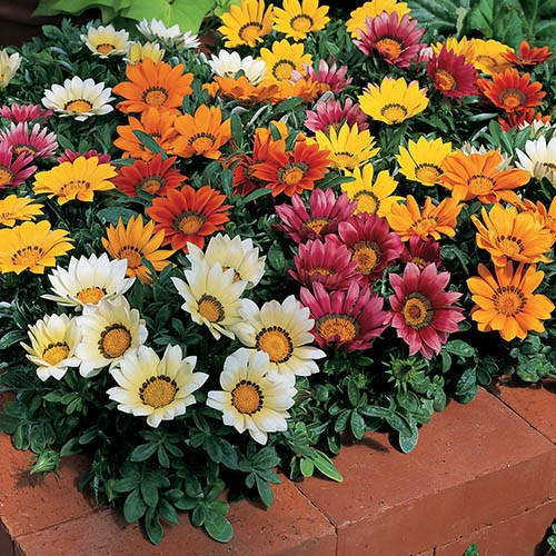 Gazania Kiss Mix 40 plug plants