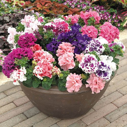Petunia Duo (Double) Mix 40 plug plants