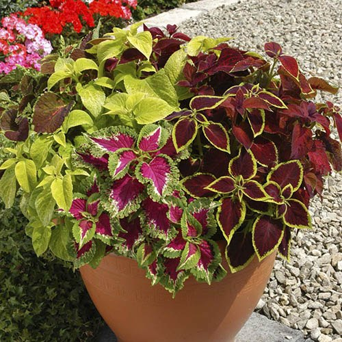 Coleus Wizard Mix 40 plug plants