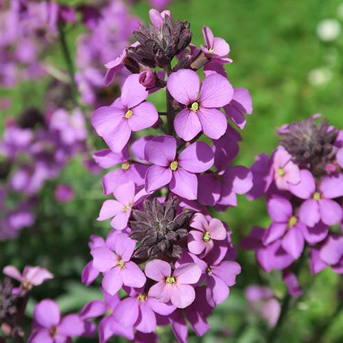 Hardy Wallflowers - Purple Shades