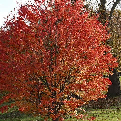 Acer freemanii  Celebration Maple Tree