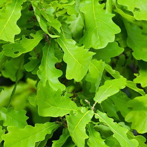 English Oak - Quercus robur