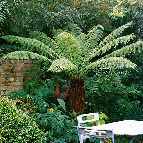Hardy Tree Fern (Dicksonia antarctica) log - 2 foot