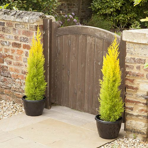 Golden Cypress (Goldcrest) Trees 1M - Pair