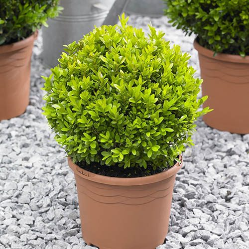 Box (Buxus) Balls 22-25cm diameter - Pair