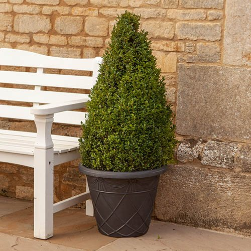 Large Buxus Topiary Cone 1.1M in planter