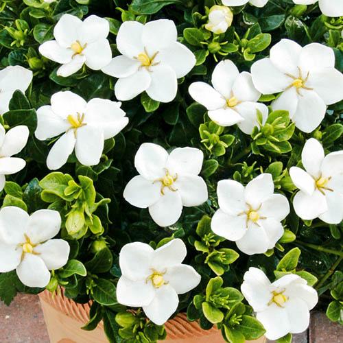 Image of Gardenia 'Kleim's Hardy' plant in 9cm pot