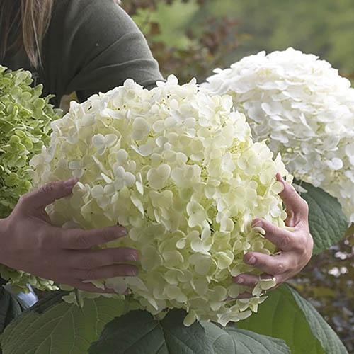"Tree Hydrangea ""Incrediball"" (Strong Annabelle) plant in 3L pot"
