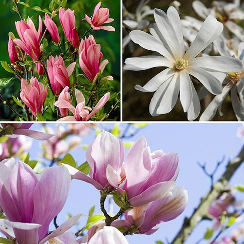 Magnolia tree Collection - set of 3 varieties in 9cm pots