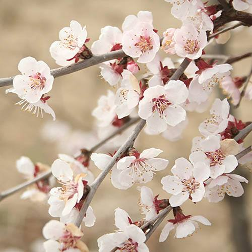 "Prunus incisa ""Kojo-no-Mai"" (Fuji Cherry Tree) in 3L pot"
