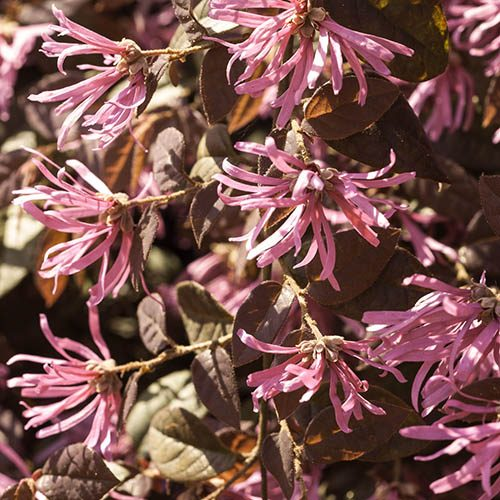 "Loropetalum ""Firedance"" (Chinese Witch Hazel) plants - set of 3 in 9cm pots"